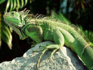 iguana-iguana